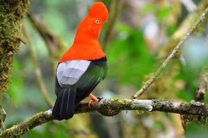 birdwatching in the peruvian amazon